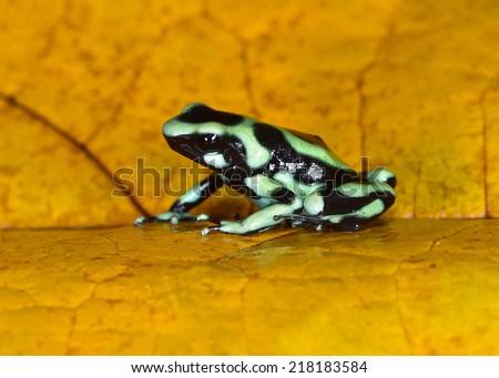 green & black poison dart frog or poison arrow frog aka Dendrobates auratus . sarapiqui, costa rica - stock photo