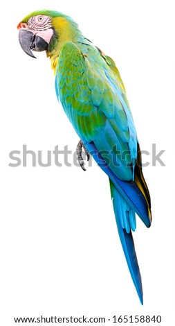 Green blue parrot macaw isolated on white background