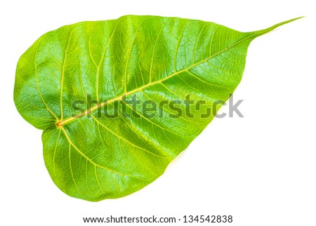 Green bodhi leaves on white background