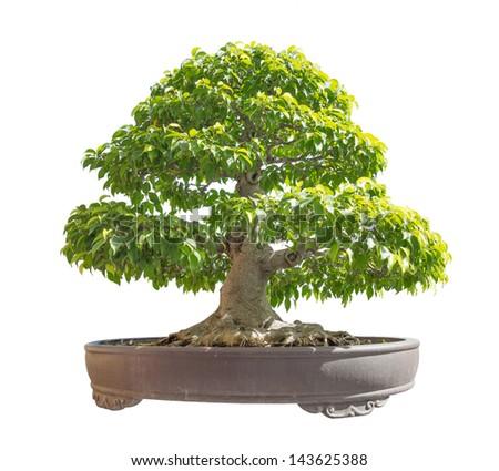 green bonsai banyan tree, isolated on white background - stock photo