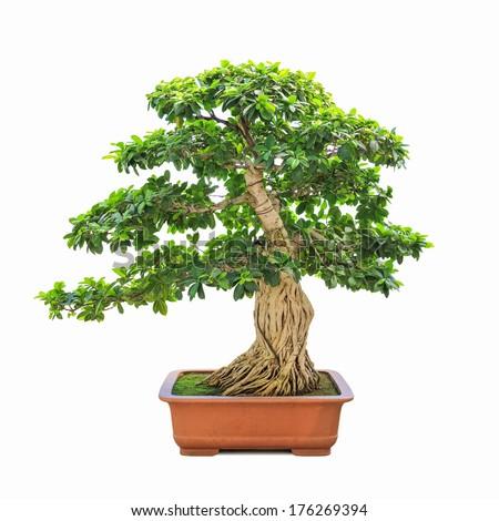 green bonsai banyan tree with a white background - stock photo