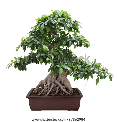 green bonsai banyan tree with white background - stock photo