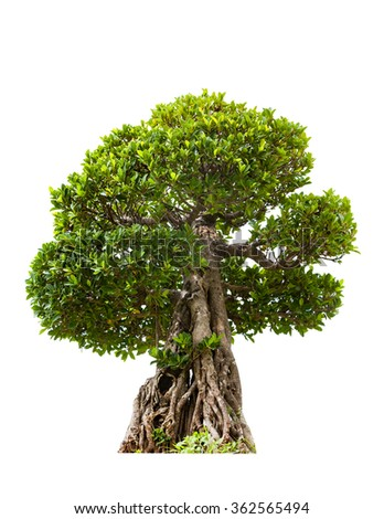 Green bonsai tree of banyan, isolated on white background - stock photo