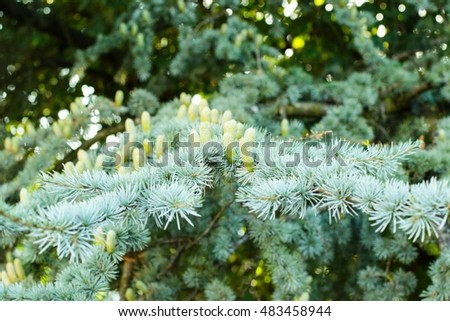 Green branch fir-tree and cones.