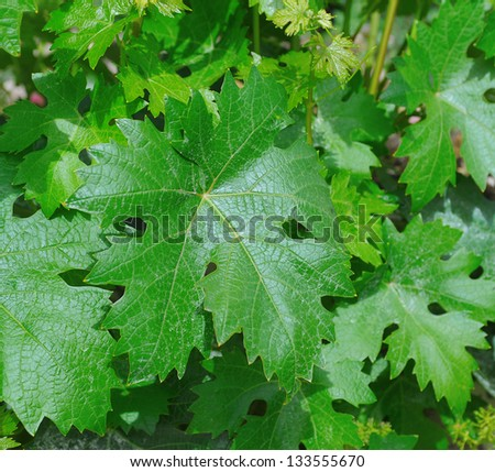 Green branch of a grape leaves in the background sunny sky