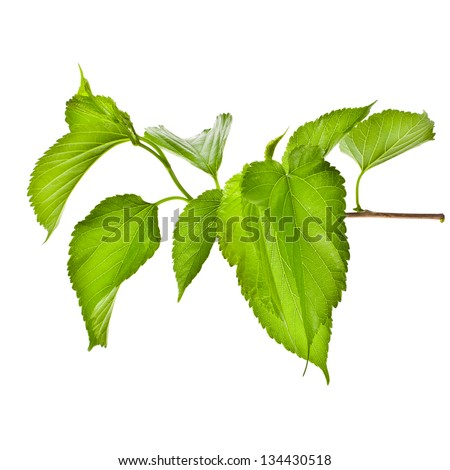 green branch of a plant with leaves  isolated on white background