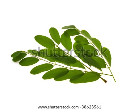 Green branch of an acacia isolated on a white background - stock photo