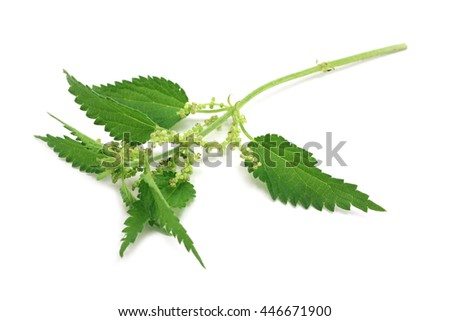 green branch of nettle on white background