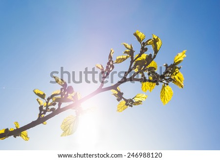 Green branch of the mulberry tree with unripe berries against the blue sky with the shining sun - stock photo