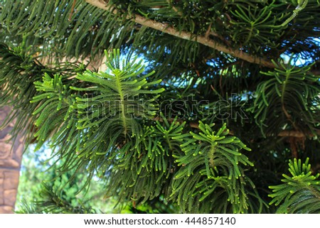 Green branch of the pine tree
