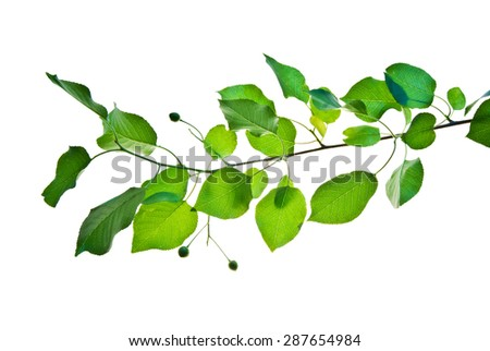 Green branch of wild cherry tree isolated on white