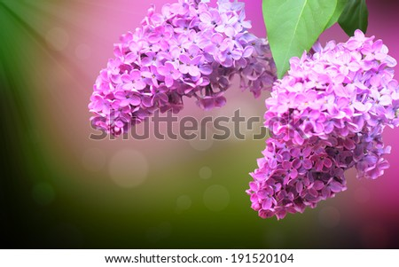 Green branch with beautiful spring lilac flowers, close up - stock photo