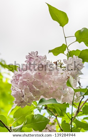 Green branch with beautiful spring lilac (syringa) flowers against sky background - stock photo