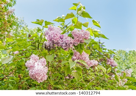 Green branch with spring lilac (syringa) flowers against blue sky background  - stock photo
