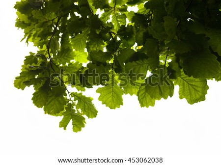 Green branches of the oak tree with the raindrops against the white sky background.