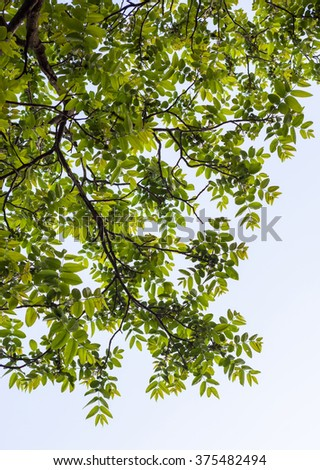 Green branches of the walnut tree against the white cloudy sky background. - stock photo