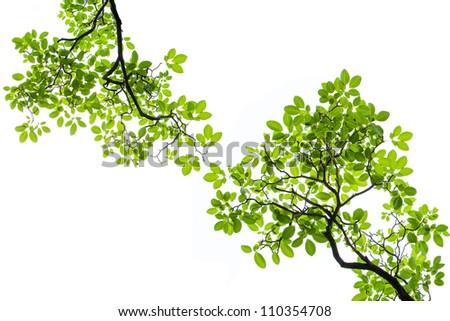 Green Bretschneidera leaves frame  isolated on white background - stock photo