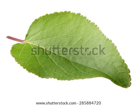 Green bright leaf of apricot isolated on white background