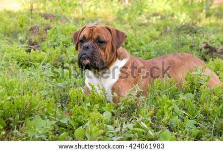 green, brown, outdoors, one, nature, white, young, beautiful, spring, grass, funny, cute, color, black, breed, animals, dog, birch, attentive, boxer, tree  pedigreed, strips, grass green, lies,