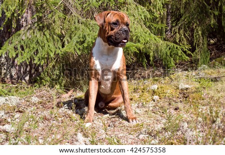 green, brown, outdoors, one, nature, white, young, beautiful, tree, portrait, funny,cute, black,breed, animals, wood, dog, coniferous, attentive, boxer, pedigreed, strips, portrait, sitting, moss