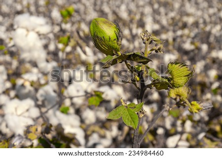 Green bud of cotton with leaves on a field - stock photo
