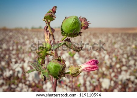 Green bud of cotton with pink flower on a field - stock photo