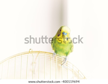 Green Budgerigar (domestic budgie) sitting on cage - stock photo