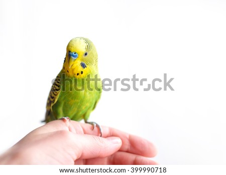 Green Budgerigar (domestic budgie) sitting on hand isolated on white background - stock photo