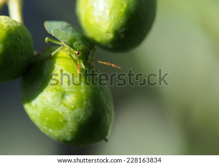 Green bug on green olive - stock photo