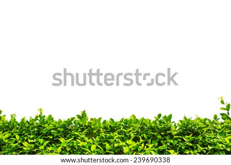Green bush hedge isolated on white with space for text. Copy space - stock photo