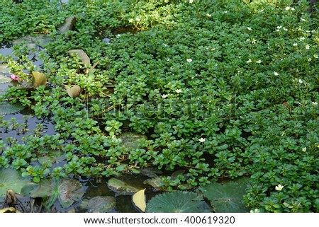green bush of tropical water plant  - stock photo