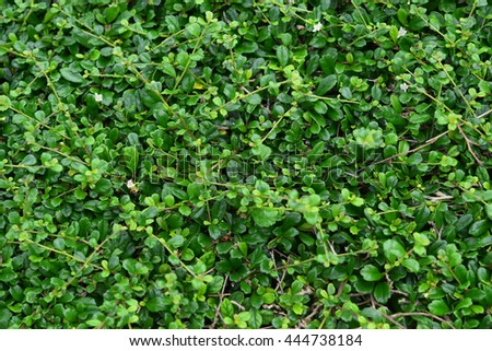 green bush or green leaf, leaves for texture background. - stock photo