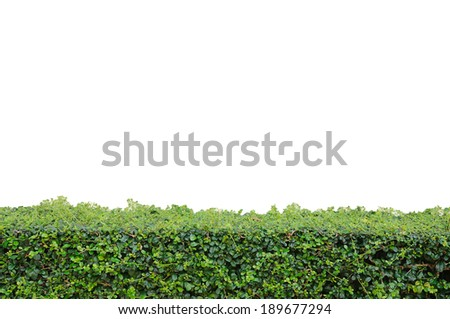 Green bush with color cream wall. - stock photo