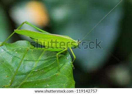 Green bushcricket perched on a leaf