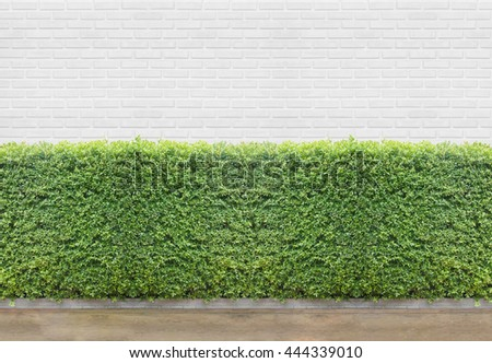 Green Bushes fences at white brick wall with concrete floor at walk way - stock photo