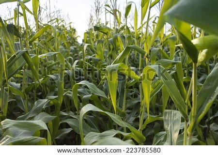 Green bushes of corn on the sky background.