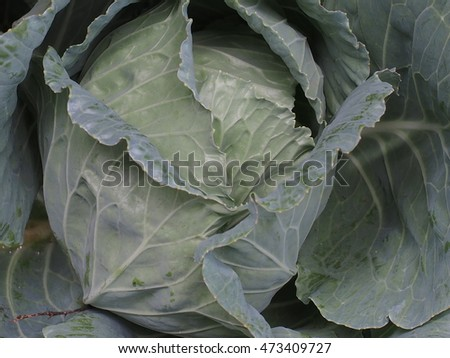 green cabbage background