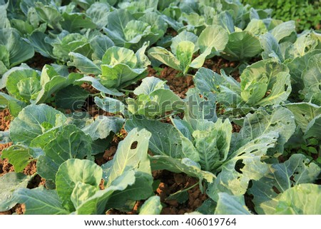 green cabbage in growth at vegetable garden - stock photo