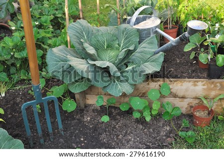 Green cabbage in vegetable patch with watering can and spade - stock photo