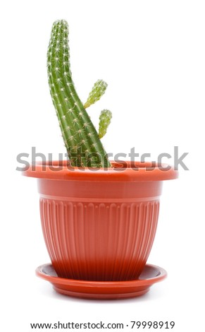 green cactus in brown pot, isolated on white - stock photo