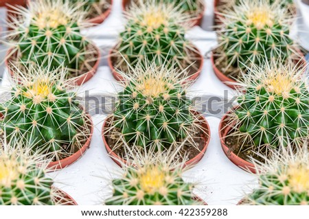 Green cactus thorns in the cultivation bowl ,it has lots of small long green stings.