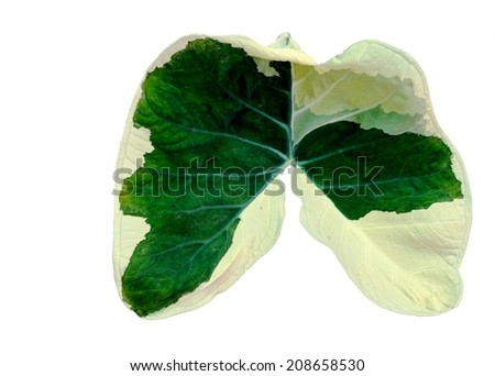 green caladium leaf that look like lung shape on white - stock photo