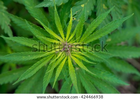 Green cannabis plants growing in the field - selective focus, copy space - stock photo