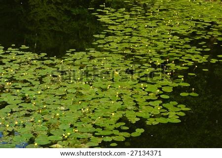 Green carpet of pond-lilies. Pavlovsk, suburbs of Saint Petersburg, Russia. - stock photo