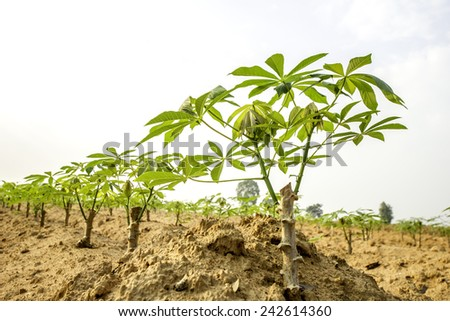 green cassava field in the nature sapling