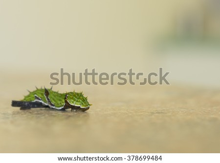 Green caterpillar larva of the orchard swallowtail butterfly, Papilio aegeus, crossing an obstacle with copy space - stock photo