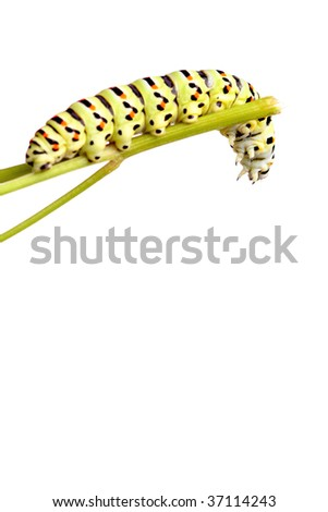 green caterpillar of swallowtail isolated on white - stock photo
