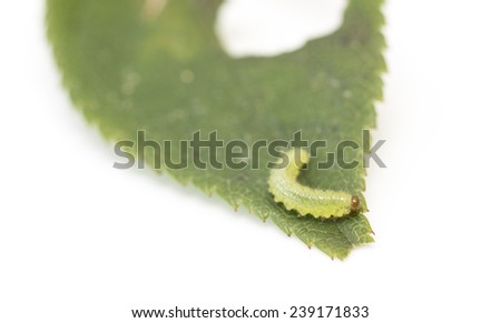 green caterpillar on a leaf on a white background