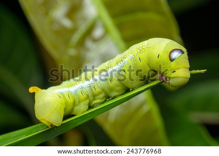 Green Caterpillar on green leaf - stock photo