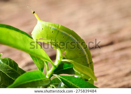 Green Caterpillar on green leaf wood background - stock photo